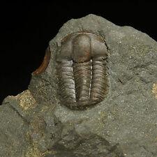 Trilobite Fossil - Ellipsocephalus hoffi - Cambrian - Jince - Czech Republic