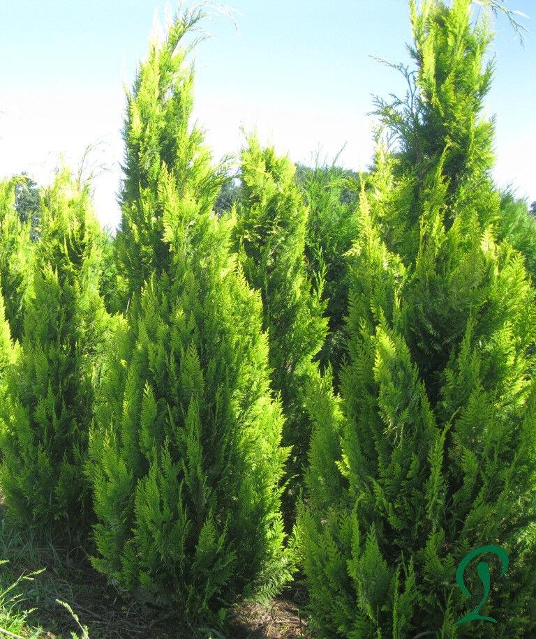 Scheinzypresse Ivonne 125-150 cm inkl. Versand 15 x Pflanzen 311,- Euro.