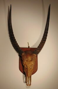 Antique-mounted-African-Gazelle-skull-with-horns-first-half-20th-century