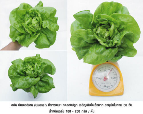 100/% HYDROPONIC SEEDS LETTUCE SEEDS Butter head Lettuce 200 Seeds NEW Best