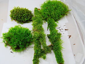 Image Is Loading Live Moss Mix Terrarium Moss Vivarium Moss For