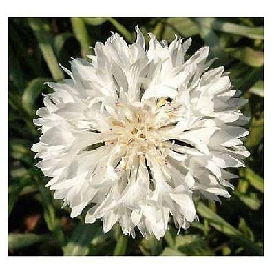 X38 BACHELOR/'S BUTTON SEEDS SAMEN 80 graines BLEUET DES CHAMPS Centaurea Cyanus