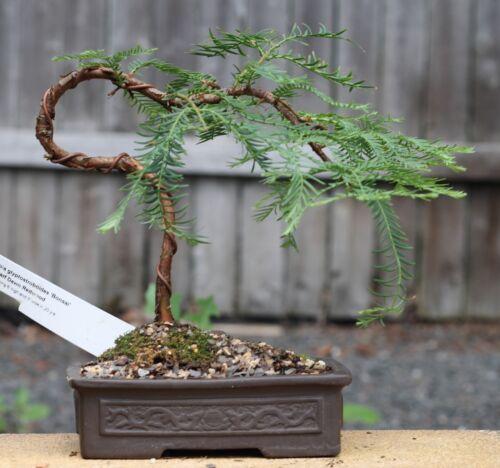 I Chambre Plante Jardin d/'Hiver exot Semences Bonsai graines I comrrunautés-Mammouth-Arbre