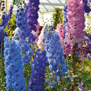 Delphinium-Hardy-Perennial-Garden-Plant-Pacific-Giants-Mixed-1-or-2-x-1L-Pot-T-amp-M