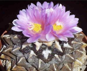 Ariocarpus Fissuratus Cactus Succulent Cacti Seeds