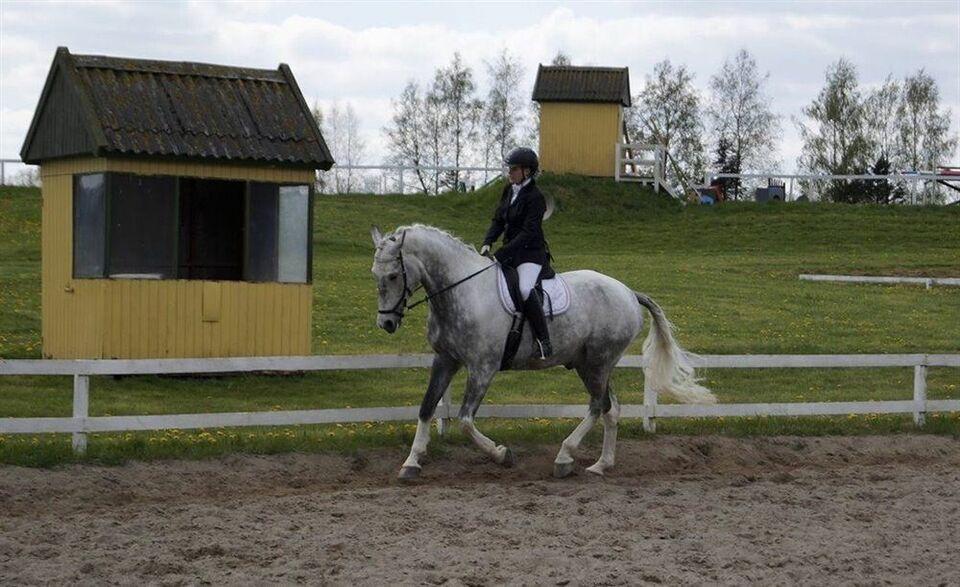 Blanding - varmblod, vallak, 15 år