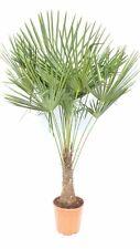 Palme XXL bis 160cm, winterhart bis -18°C, 30-50cm Stammhöhe
