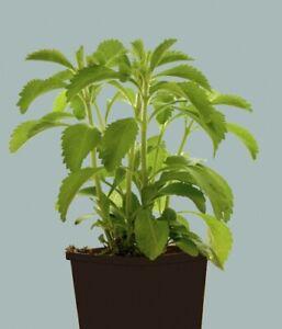 Nouvelle Mode Seedeo ® Stevia Süßkraut (stevia Rebaudiana) 150 Graines-afficher Le Titre D'origine Apparence Brillante Et Translucide