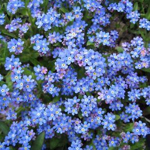 Forget me Not - Myosotis alpestris - Blue Ball - Alpine  - 2000 seeds - HB
