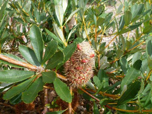 10 Fresh Seeds Banksia Robur Swamp Banksia