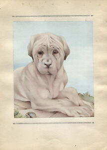 Edward Julius Detmold Vintage Print The Mastiff - The Book of Baby Dogs 1929