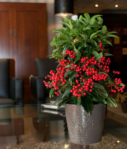 CORAL BUSH SEEDS ARDISIA CRENATA COMPACT FLOWERING SHRUB 40 SEED PACK