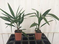 Trachycarpus fortunei (Windmill Palm)