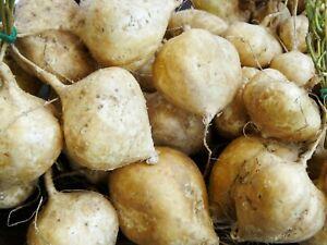 15 Jicama Seeds Vegetable Organic Mexican Yam Bean Root Potato Seeds Organic