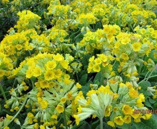 Cowslip primrose primula veris bright yellow perennial shade cowslip primrose primula veris bright yellow perennial shade mightylinksfo