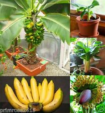 Fresh Imported Musa Acuminata edible Dwarf Banana tree plant seeds - 15 seeds