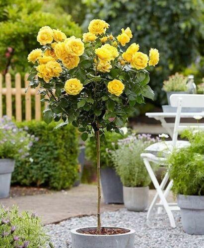 100Pcs Roses Tree Seeds Rare 10 Kinds Beautiful Garden Decorative Plants Bonsai