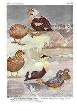 """1936 Vintage FUERTES BIRDS #19 """"EIDER, HARLEQUIN DUCKS"""" Color Plate Lithograph"""