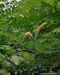 Adenanthera pavonina 10 seeds Red Sandalwood