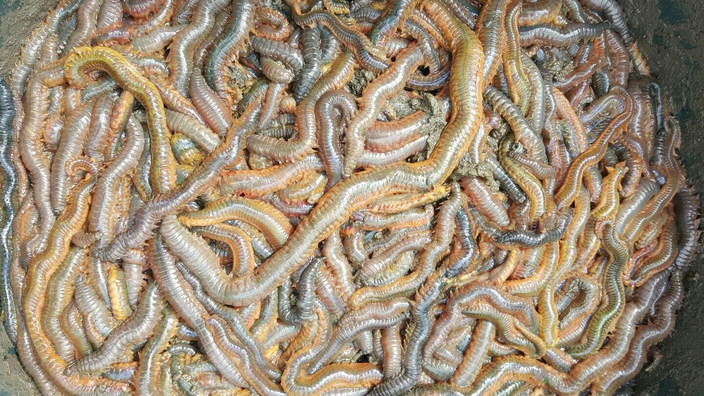 RAGWORM  1kg live wild ragworms sea fishing bait next day delivery by 1pm