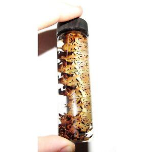 Citheronia splendens hickory horned devil caterpillar preserved wet specimen 4in