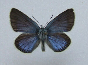 Butterfly-Polyommatus-diana-Diana-Blue-male-mounted-Rare