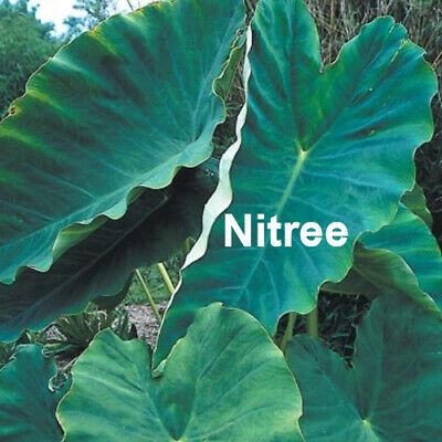 Colocasia Elephant Ear Bulbs Perennial Green Leaves Resistant