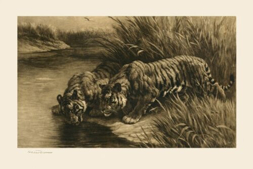 Tigers Reproduction of a 1911 Engraving by Herbert Dicksee England FREE S//H