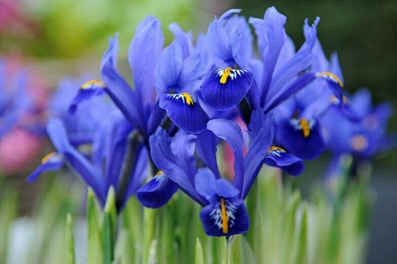 Premium Dwarf Iris Bulbs x 5 Reticulata Gordon Variety Spring Flowering Garden