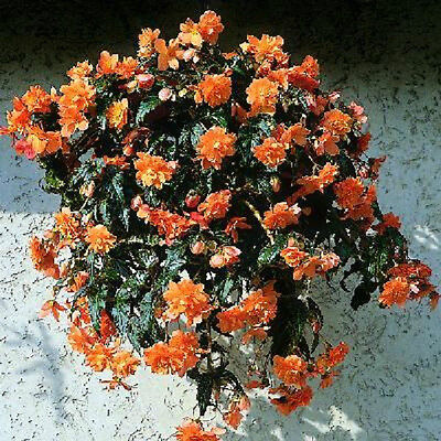 Begonia Seeds Trailing Cascade Beauty Mango 15 Pelleted Seeds