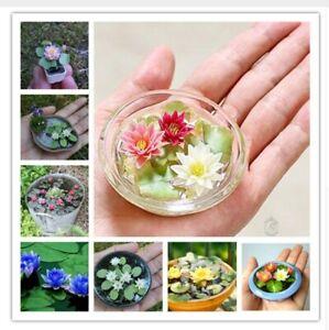 Dettagli Su S 10 Semi Mini Fiore Di Loto Piante Esotiche Fiori Bonsai Giardino Vaso Bulbi