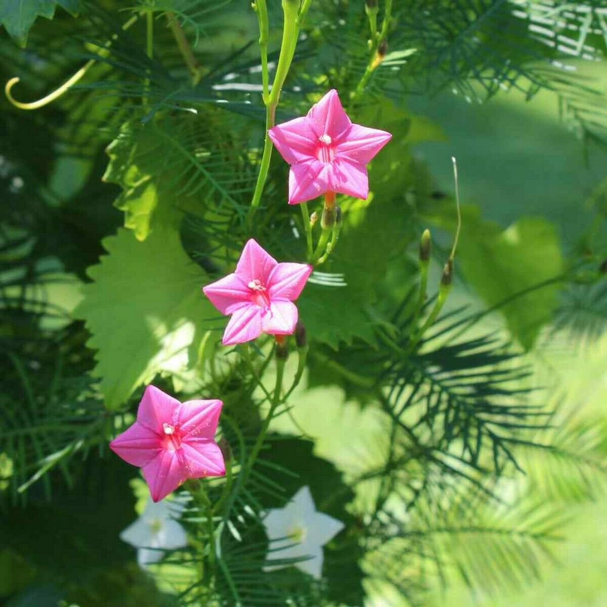 Cypress Vine- Rose- 10 Seeds - - BOGO 50% off SALE