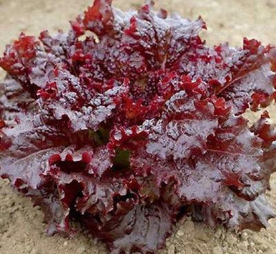 Red Lettuce Seeds, Leaf Lettuce Seeds, Heirloom Bulk Lettuce Seed, Non-Gmo 500ct