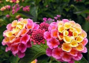 Details About 20 Seeds Pink Lantana Camara Miss Huff Hardy