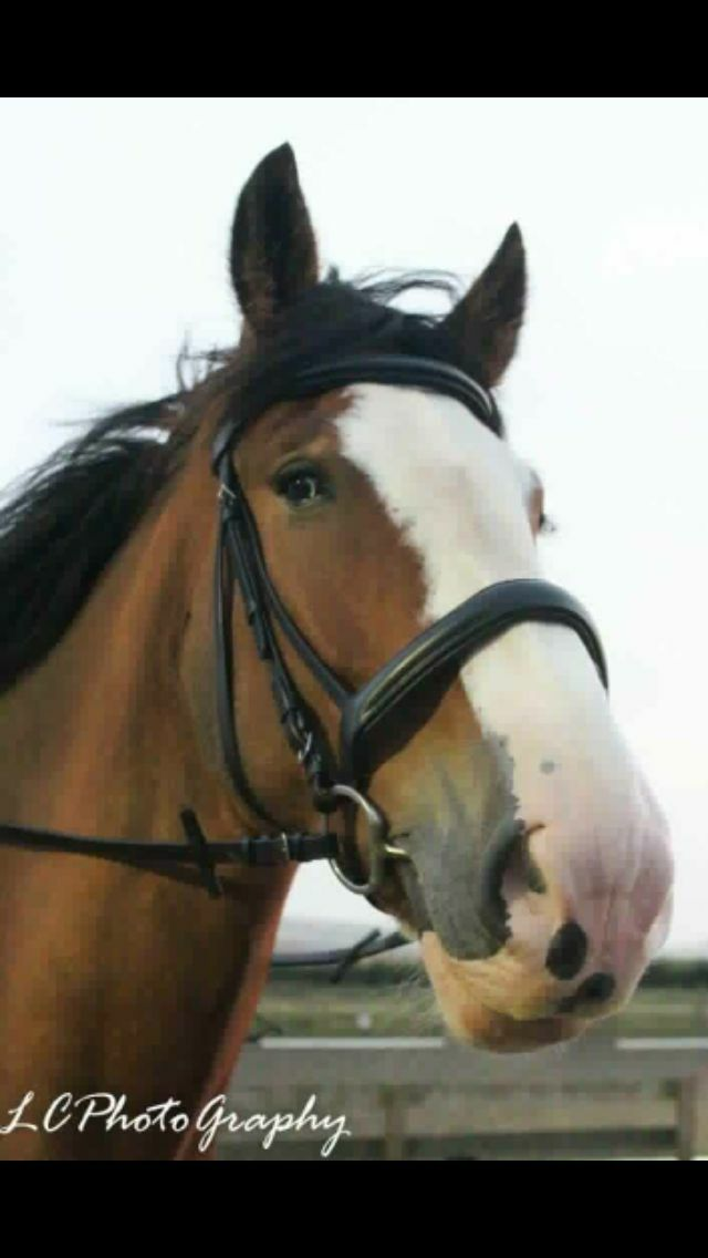 HEAVY HORSE PADDED CAVESSON LEATHER BRIDLE
