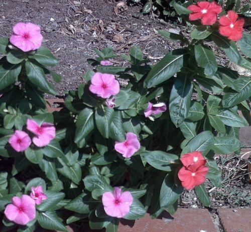 die i Balkon eine schöne Blume für Terrasse MADAGASKAR-ZIMMERPFLANZE !i