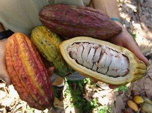 5 Fresh Cocoa Beans, Seeds of Cacao (Cacaoyer)