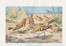 1910 NATURAL HISTORY DOUBLE SIDED PRINT ~ DESERT LARKS & FINCHES / BUNTINGS