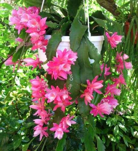 Bouture cutting Epiphyllum Cactus à feuilles NOPALXOCHIA PHYLLANTHOIDES