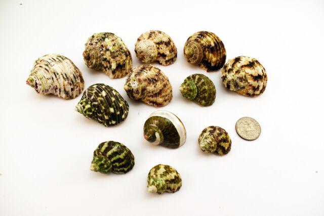 12 Assorted Turbo Hermit Crab Shells Lot 3/4