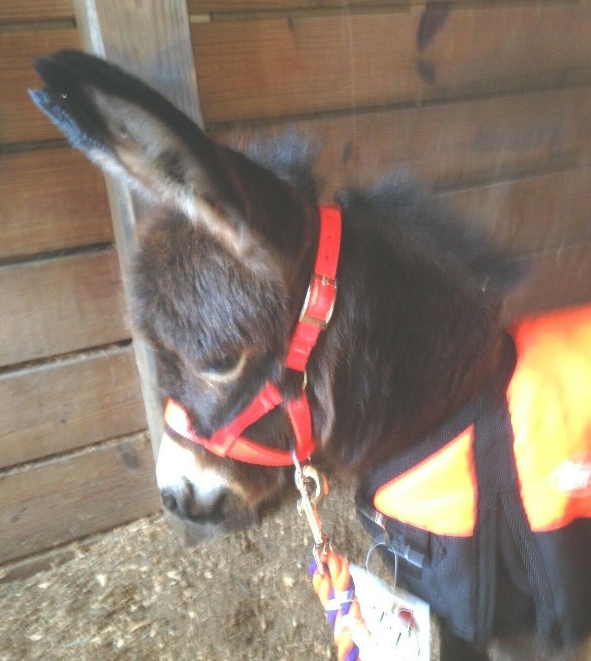 BABY MINIATURE DONKEY or Horse WP BLANKET BLANKET BLANKET + Coordinating Training Halter + Lead b9c6d4