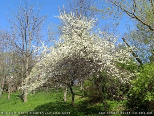 Prunus americana sent in box TWO plants of American Plum