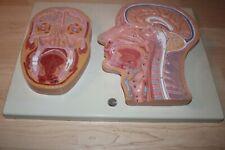 New Listinghuman Head Cross Section Nasal Cavity Anatomical Model Vintage