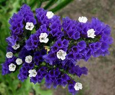 STATICE BLUE - dry flower  SEA LAVENDER - Limonium sinuatum - 100 seeds