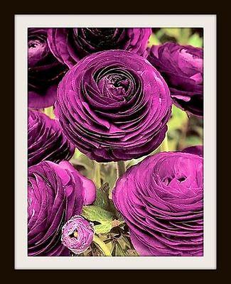 PURPLE Ranunculus  ___ 5 x  ___ Persian buttercup