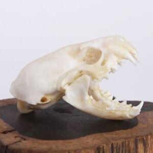 Natural-Skull-Bone-Ferret-Animal-Specimen-offers-the-art-of-Bone-Veterinary-1-1