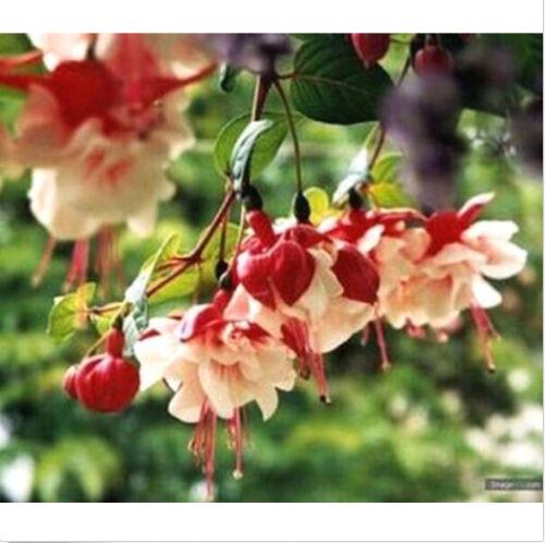 Rare Fuchsia Seeds Fuchsia Lantern Flower Seeds ~10 Seeds~