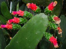 OPUNTIA COCHENILLIFERA --TREE FORM--  ** RED FLOWERS** / CACTUS SUCCULENT