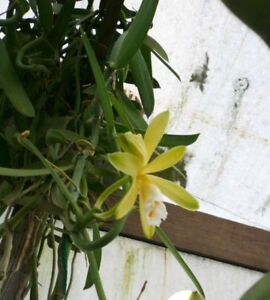 Rare-Vanilla-Planifolia-Bean-Rooted-plant-Ready-to-Grow-Indoor-Outdoor-One-Plant