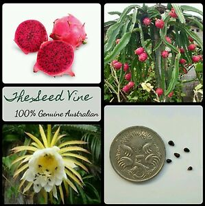 50-RED-DRAGONFRUIT-SEEDS-Hylocereus-costaricensis-Pitaya-Dragon-Fruit-Cactus